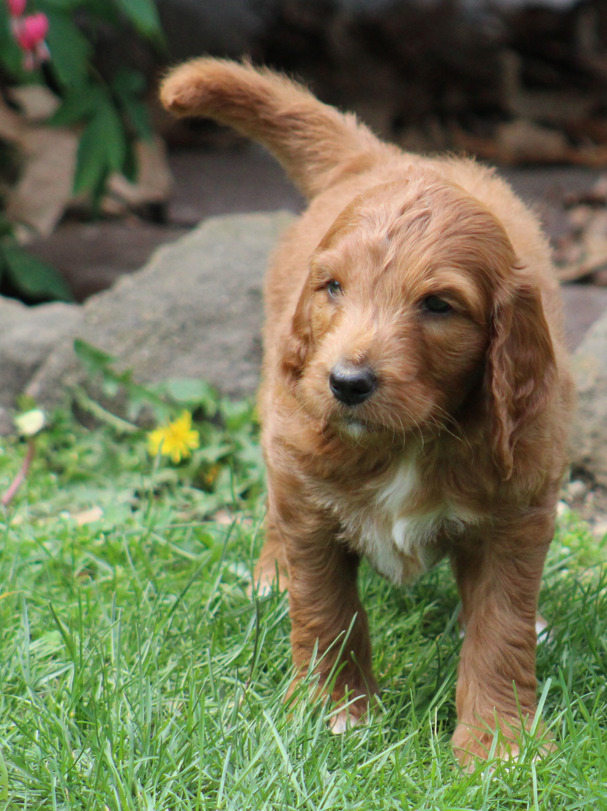 red f1 Goldendoodle