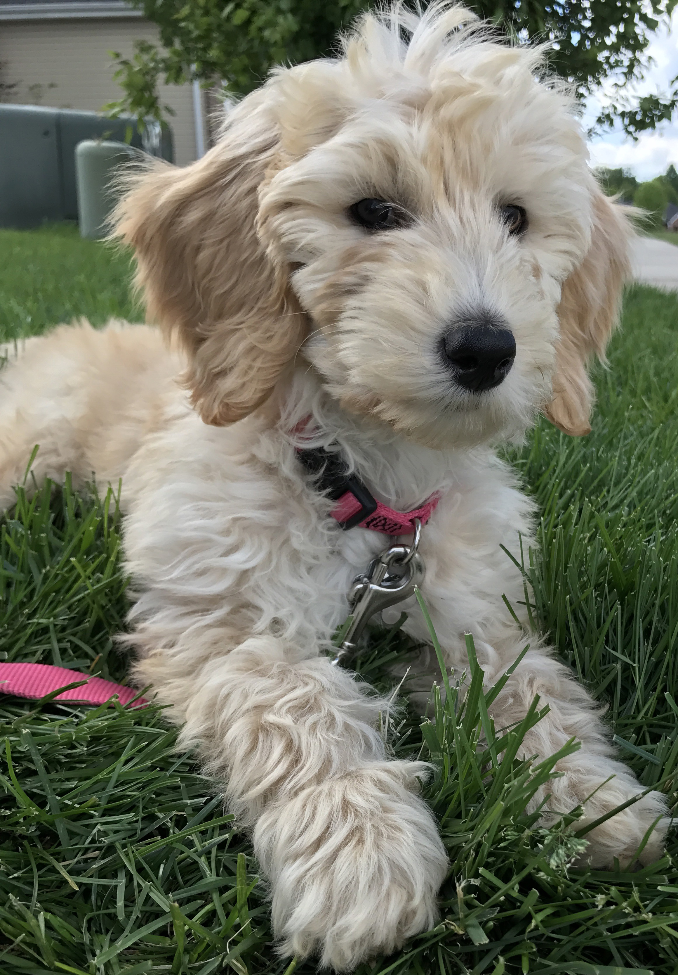 English cream mini Goldendoodle