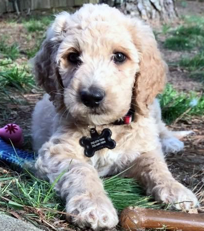 toy-Goldendoodle