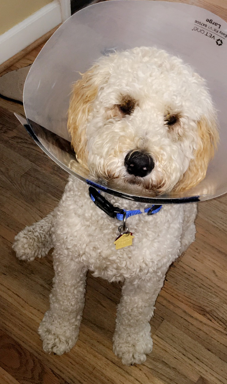 Goldendoodle-after-vet-visit