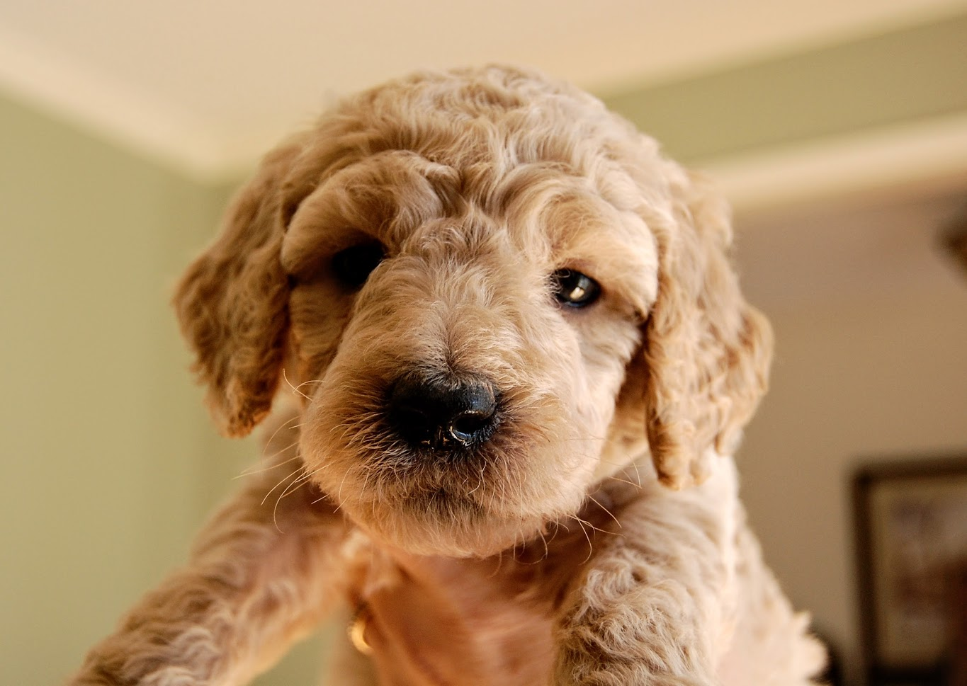 Goldendoodle boy