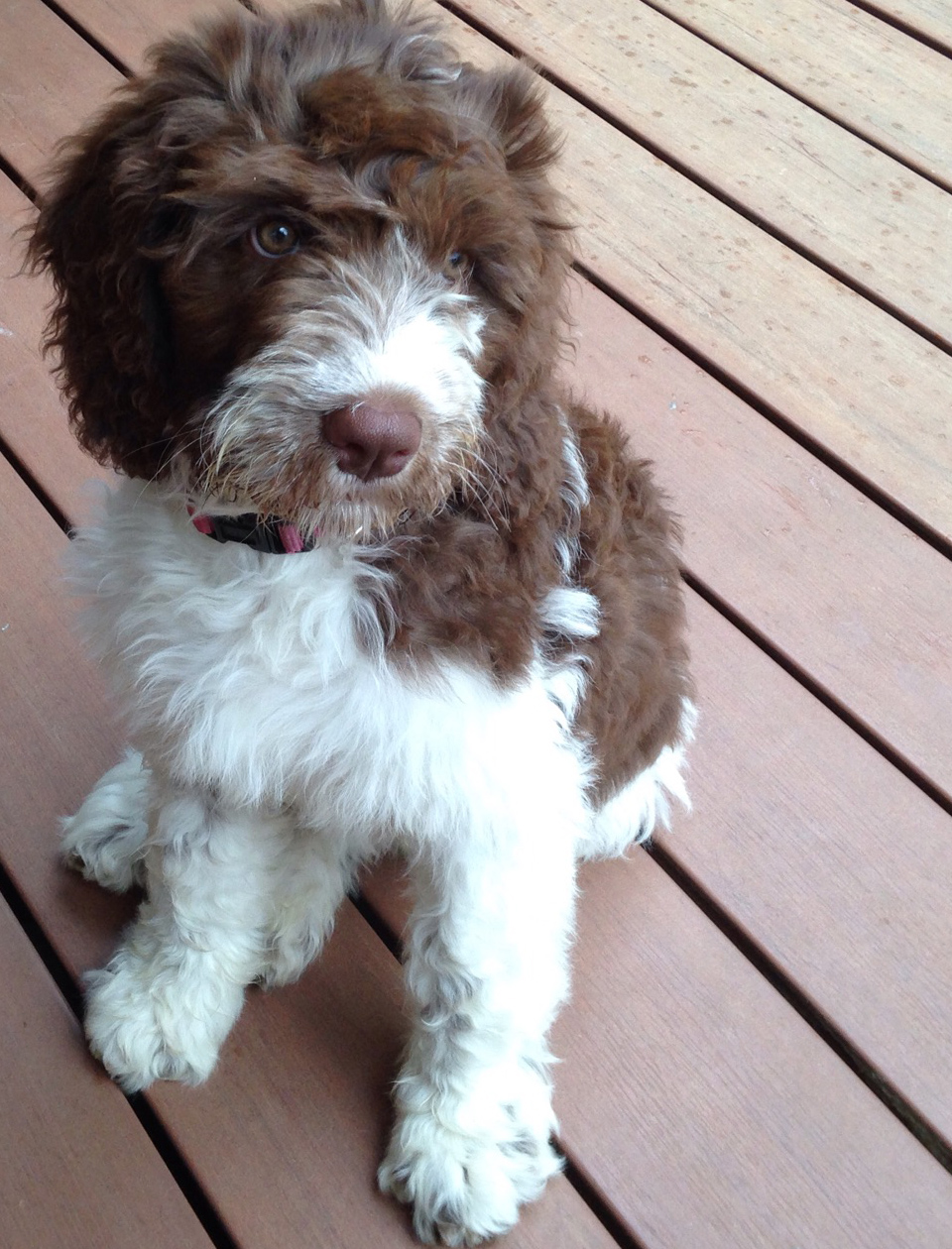 Springerdoodle puppy