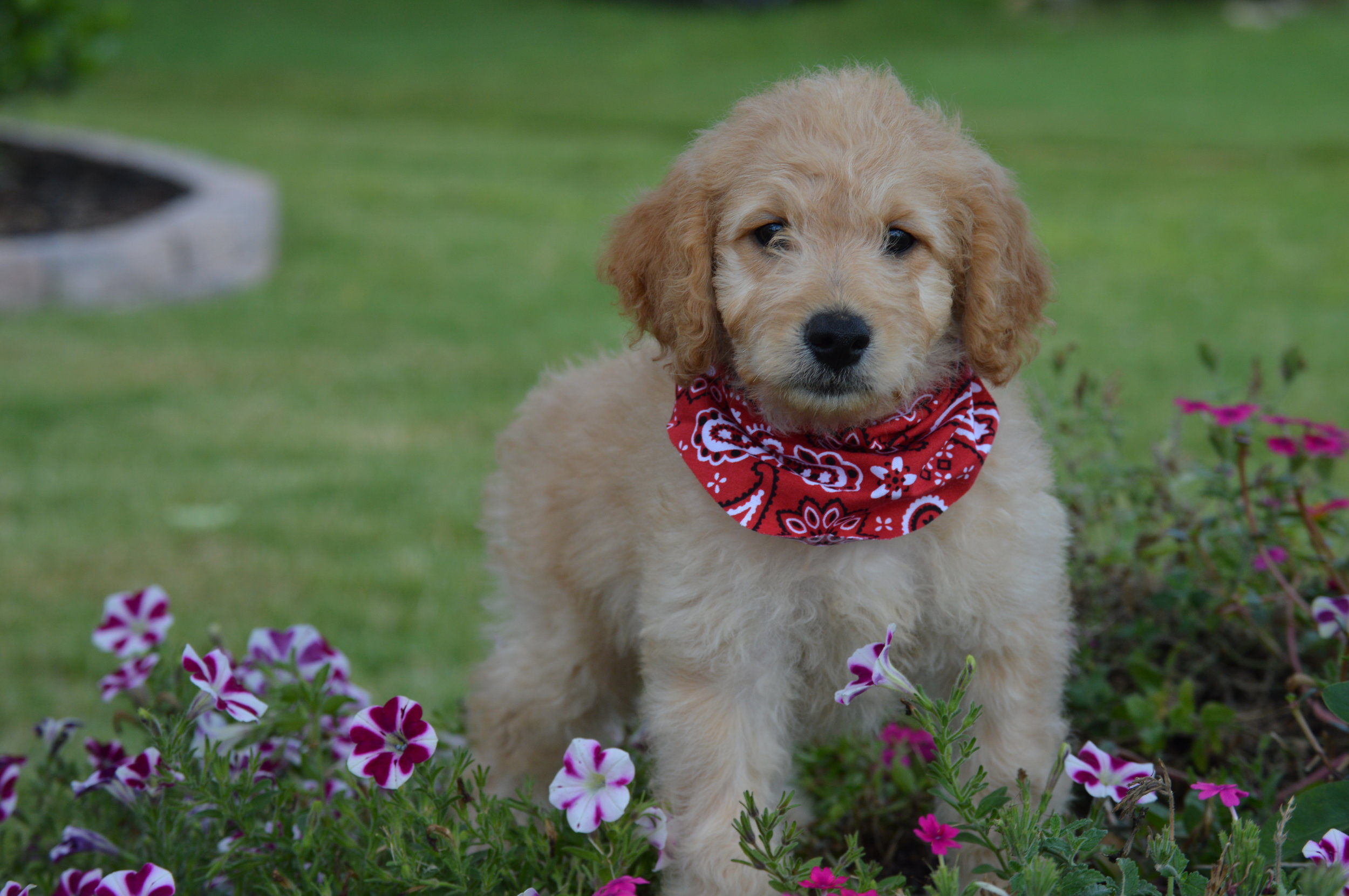 mini-Goldendoodle-review