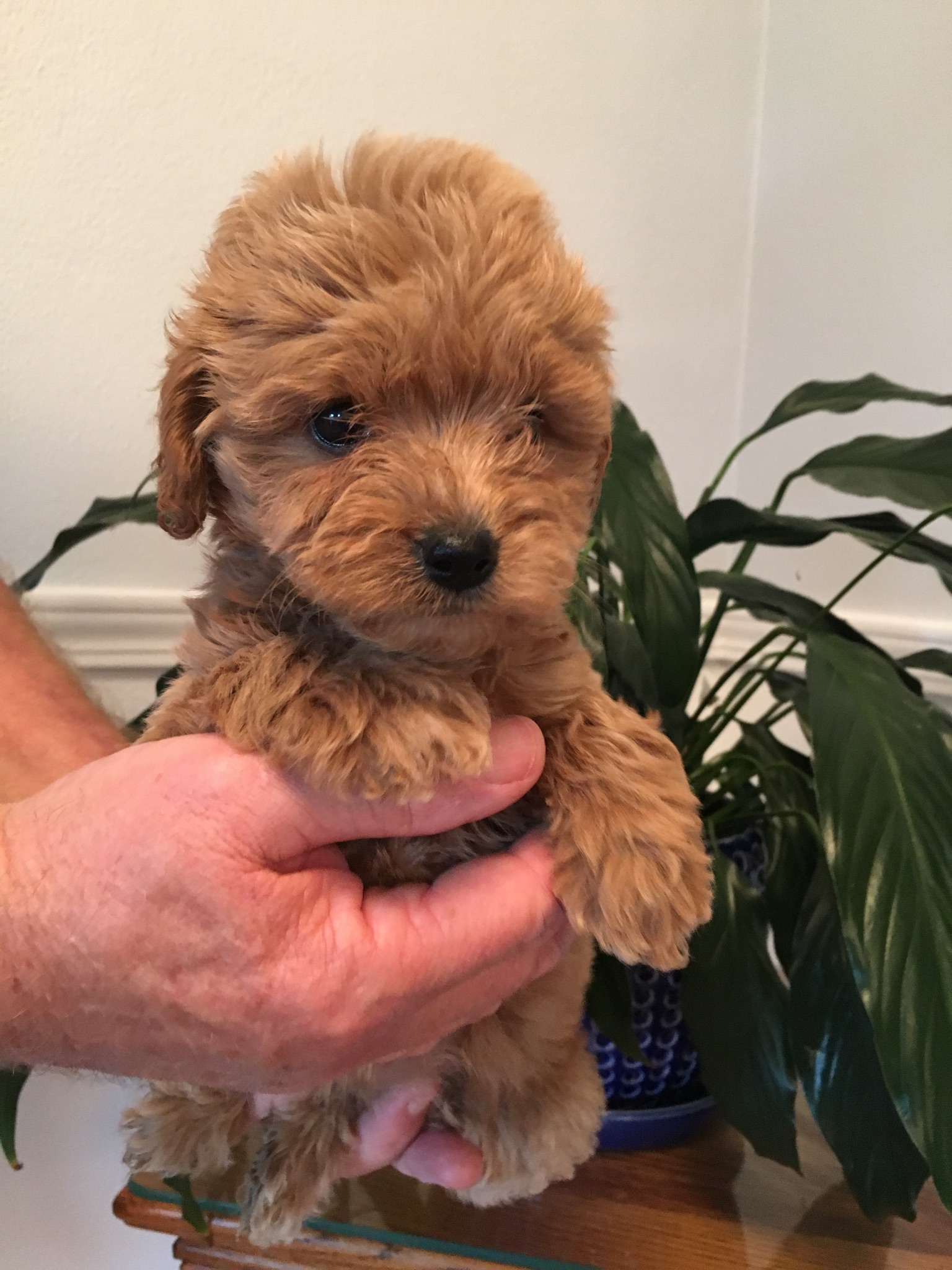 Anna-red-petite-Goldendoodle-girl.JPG