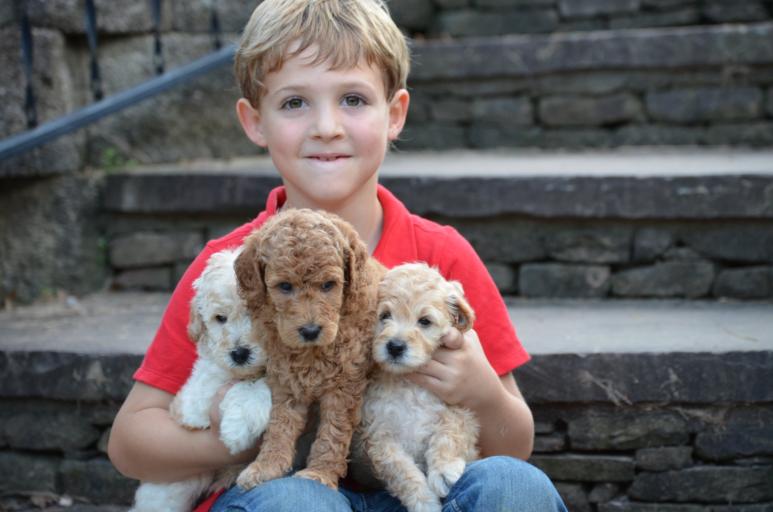 Micro Goldendoodle Litter