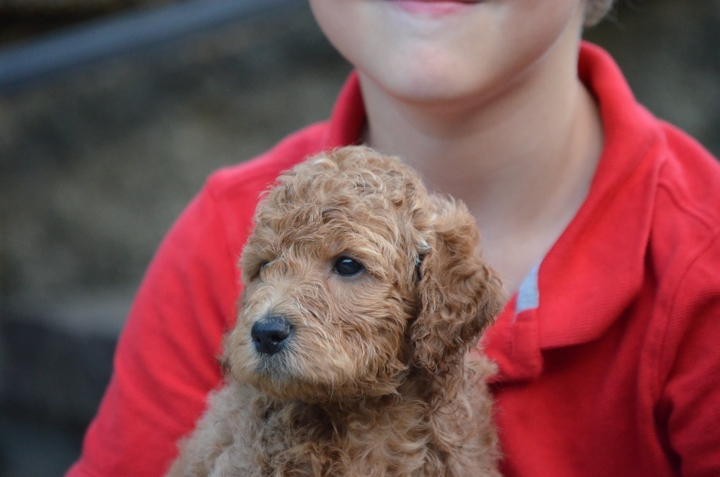 petite-Goldendoodle-girl-Ruby (5).JPG