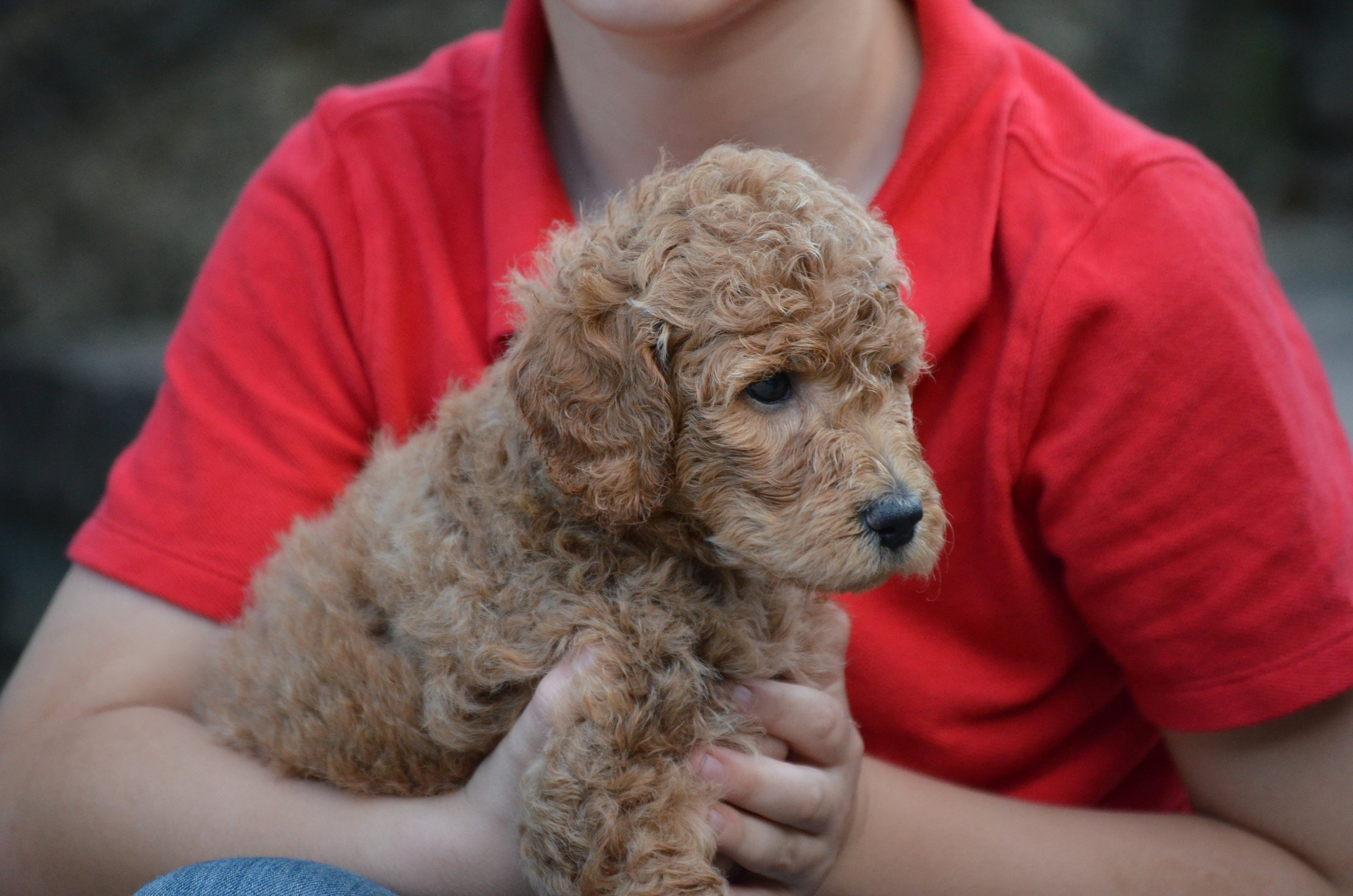 petite-Goldendoodle-girl-Ruby (6).JPG