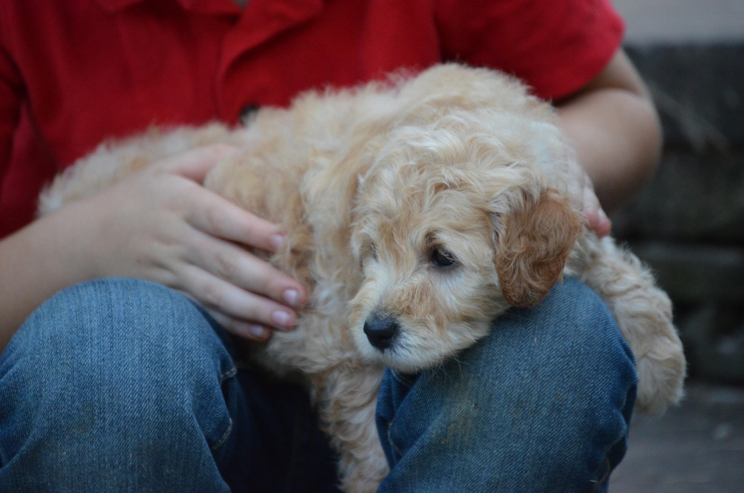 petite-Goldendoodle-girl-April (1).JPG