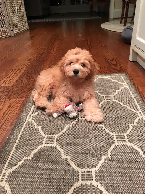 Tucker-Cavapoo-for-sale.jpg