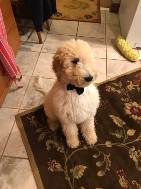 fancy-Goldendoodle.jpg
