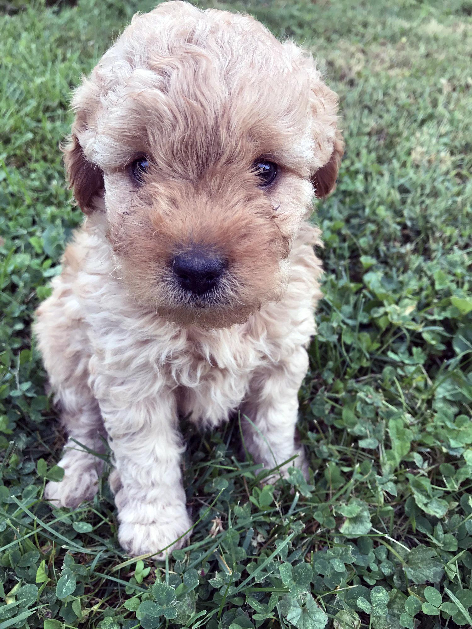 Bristol-micro-Goldendoodle-puppy.jpg