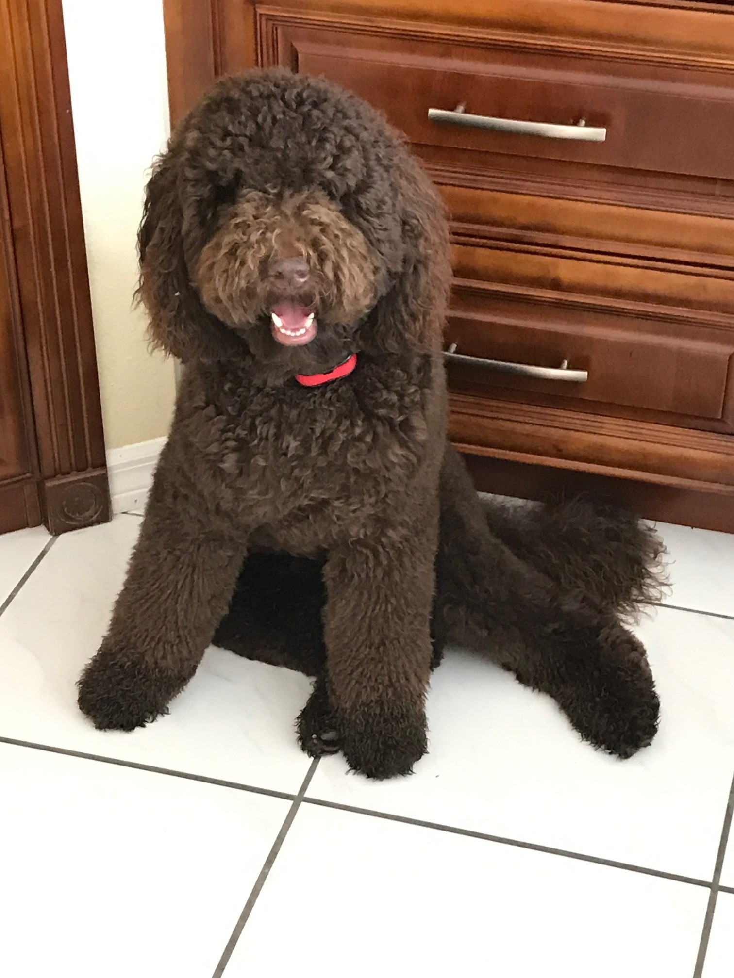 Chocolate-Labradoodle.jpeg