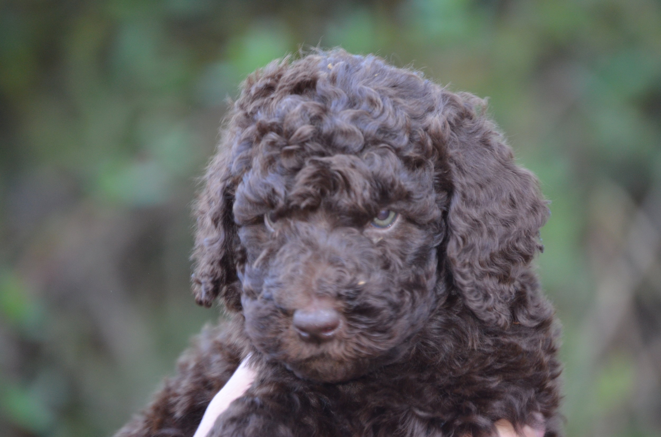 Henry-medium-Labradoodle-boy (2).JPG