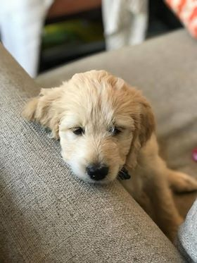 calm-goldendoodle5.jpg