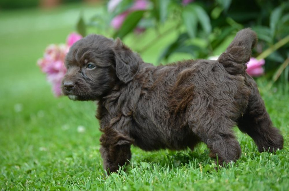 Labradoodle And Mini Pups