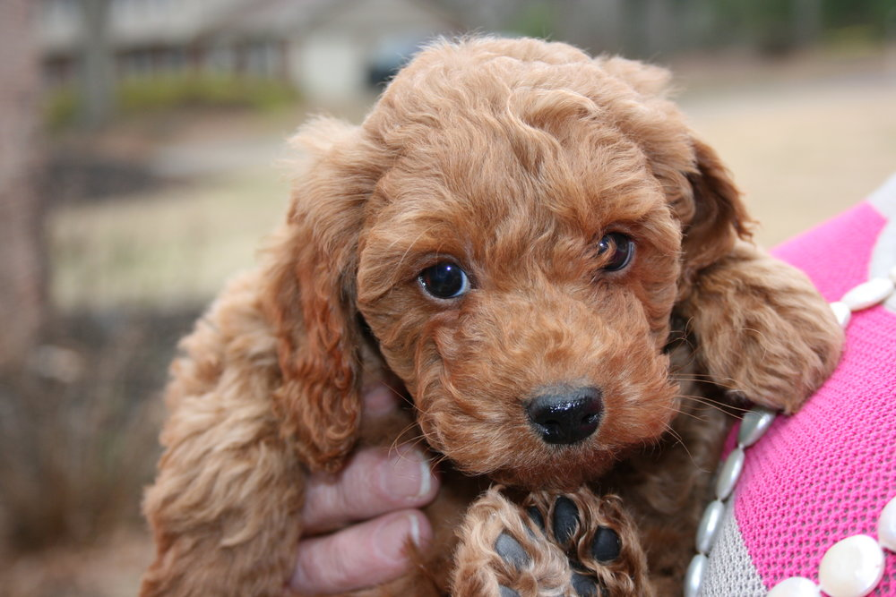Irish Doodle Puppies Characteristics