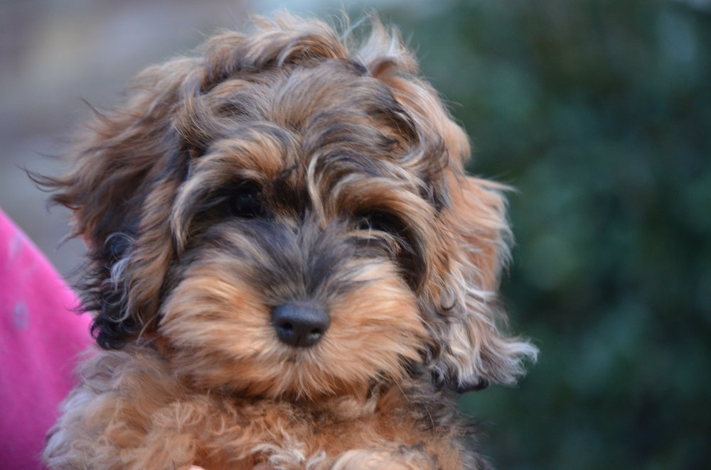 Cockapoo Puppies For Sale-9675