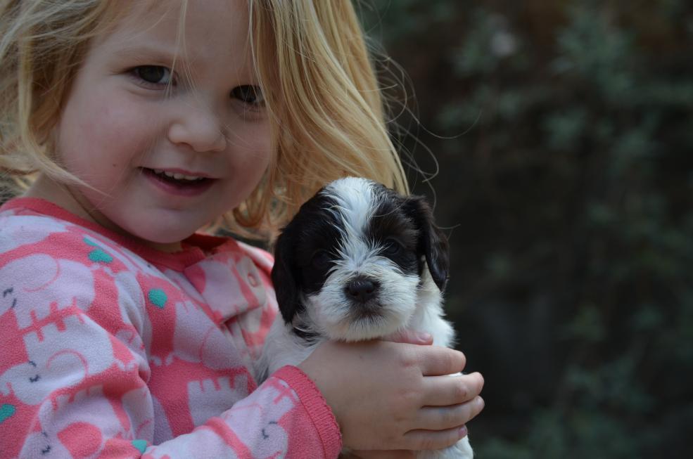 Parti mini labradoodle puppy