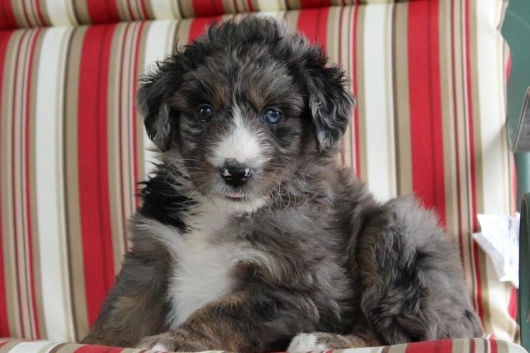 Merle aussiedoodle puppy