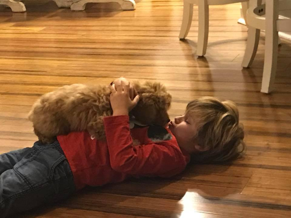 mini goldendoodle puppy with boy