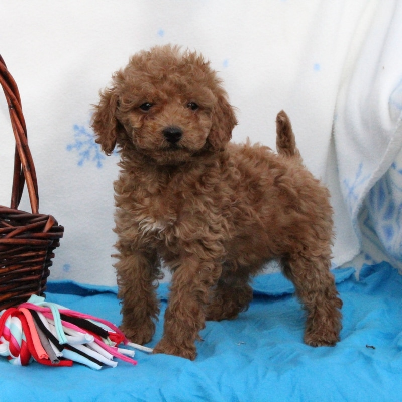 Duncan, the toy poodle dad