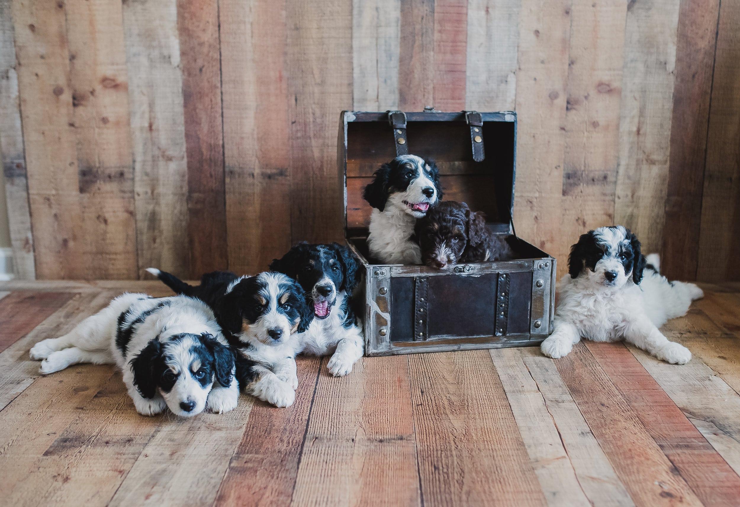 Crockett Doodles Family Raised Doodle Puppies For Sale