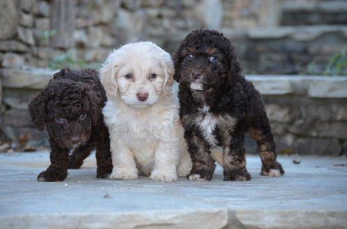 best cockapoo puppies