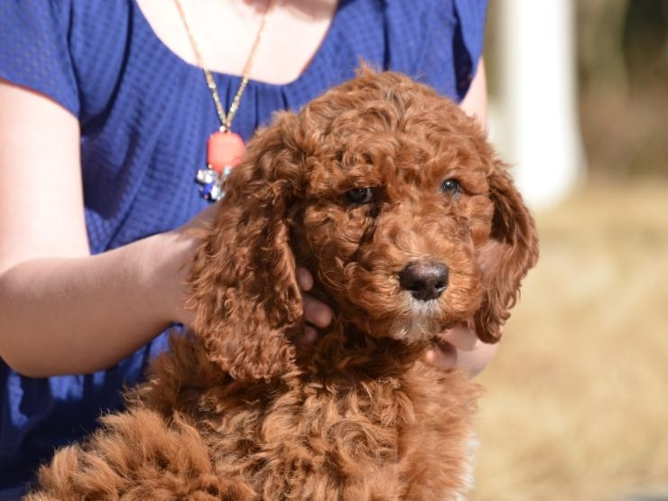 Labradoodle puppies - characteristics, pictures, advantages