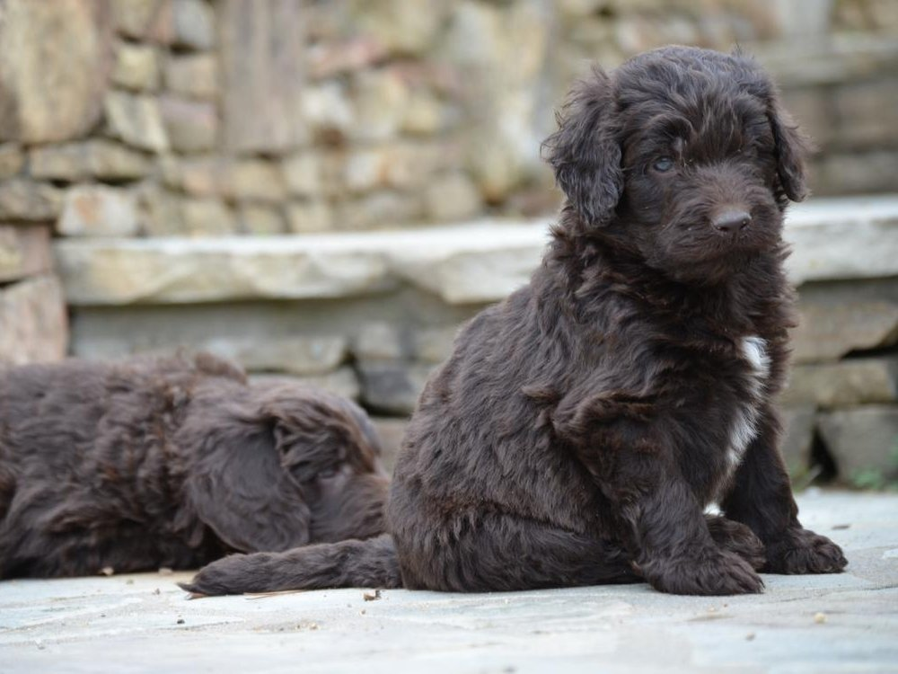 Newfiedoodle Puppies Characteristics Pictures Advantages