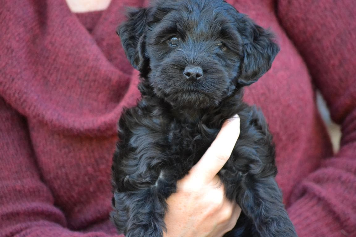 hypoallergenic mini labradoodle puppy