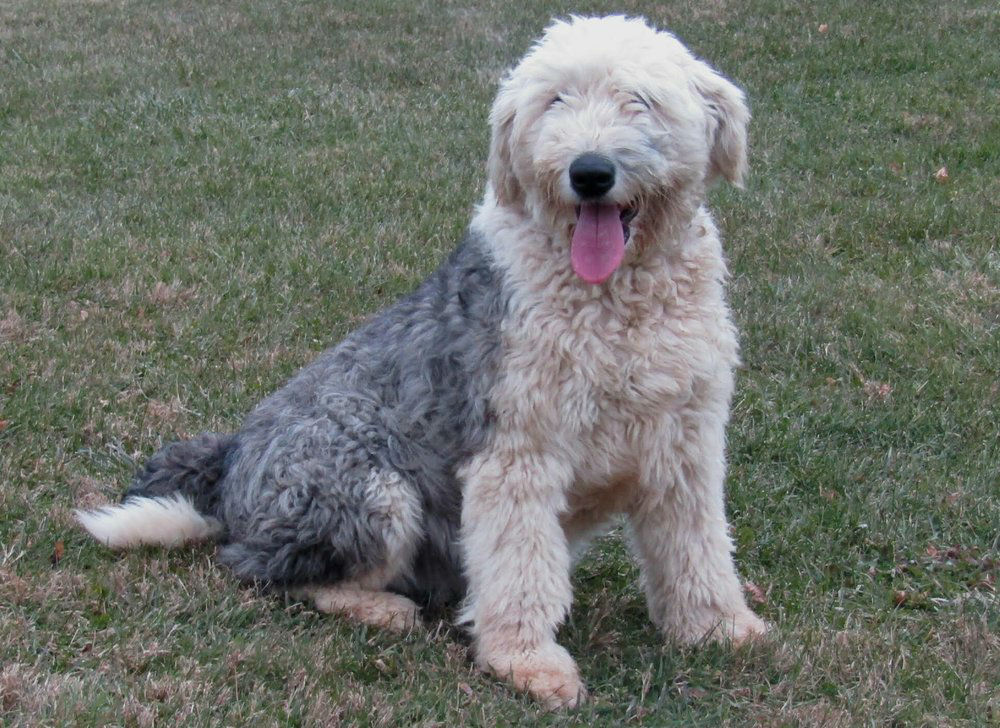 Molly, our Old English Sheepdog Mom