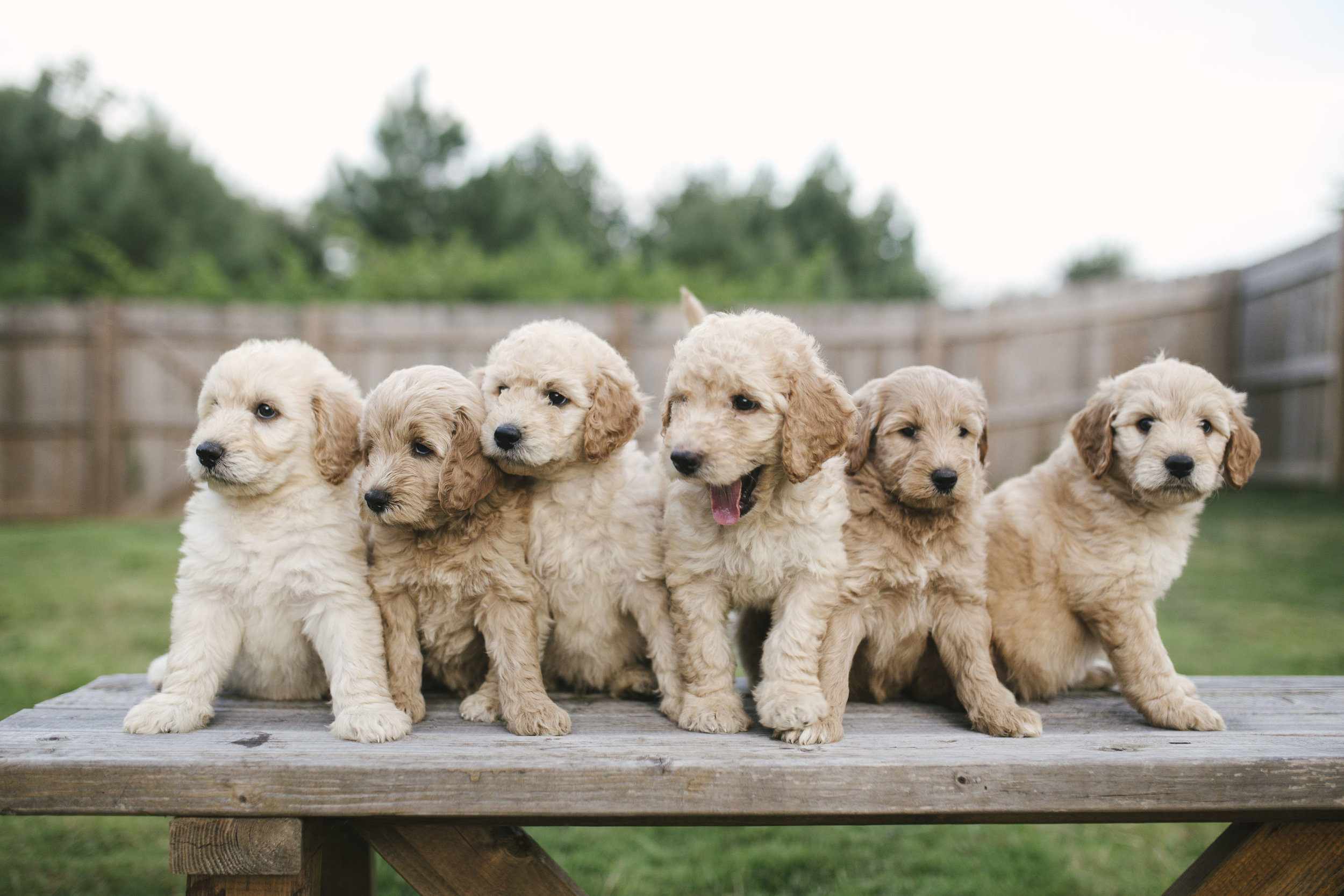 Available Puppies for Sale | Crockett Doodles