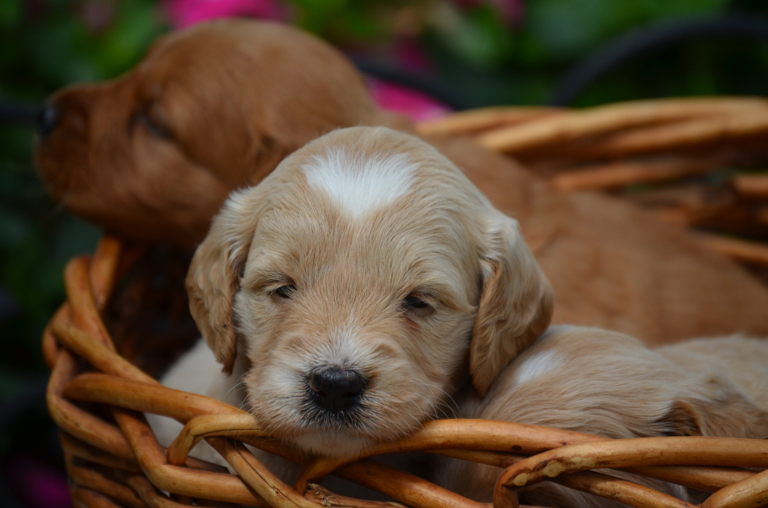 mini-Goldendoodle-puppy.JPG