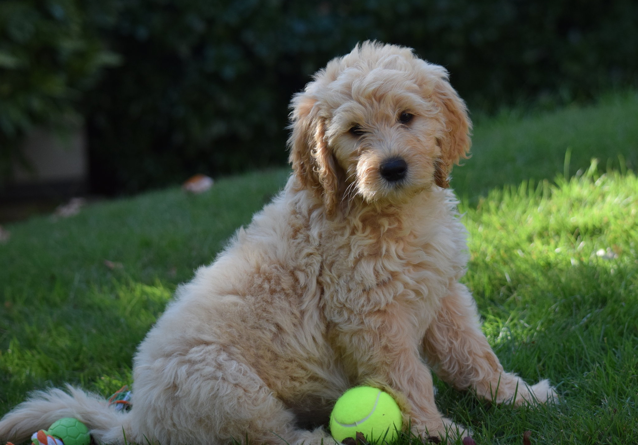 Standard And Mini Goldendoodles For Sale Reasonable Adoption Fees