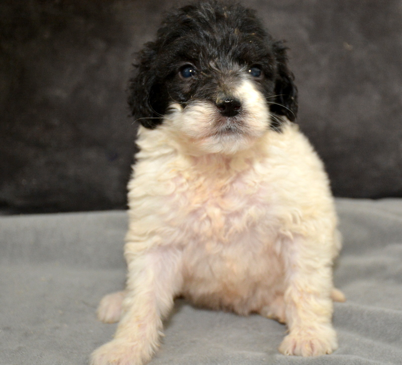 Willow - female Pyredoodle (3).JPG