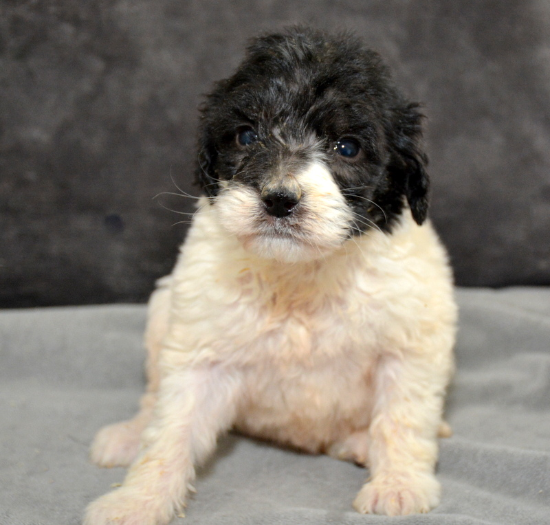 Willow - female Pyredoodle (1).JPG