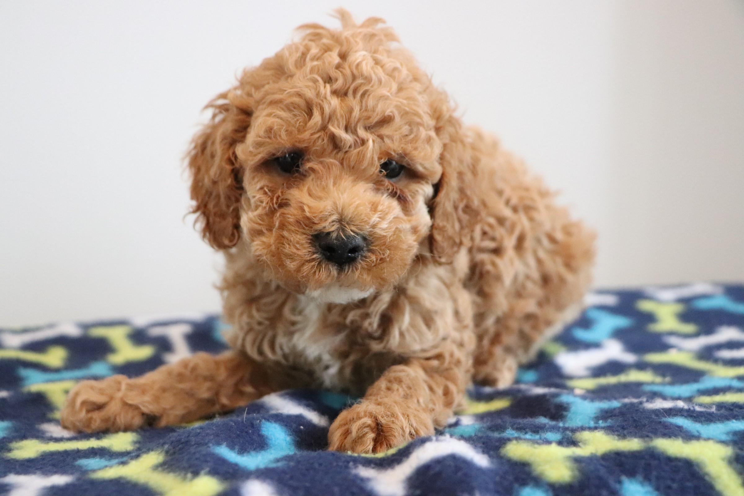 Red Cockapoo puppy - Bart (1).jpg