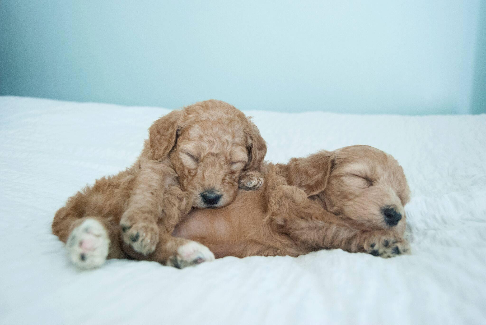 goldendoodles-sleeping-crockett.jpg