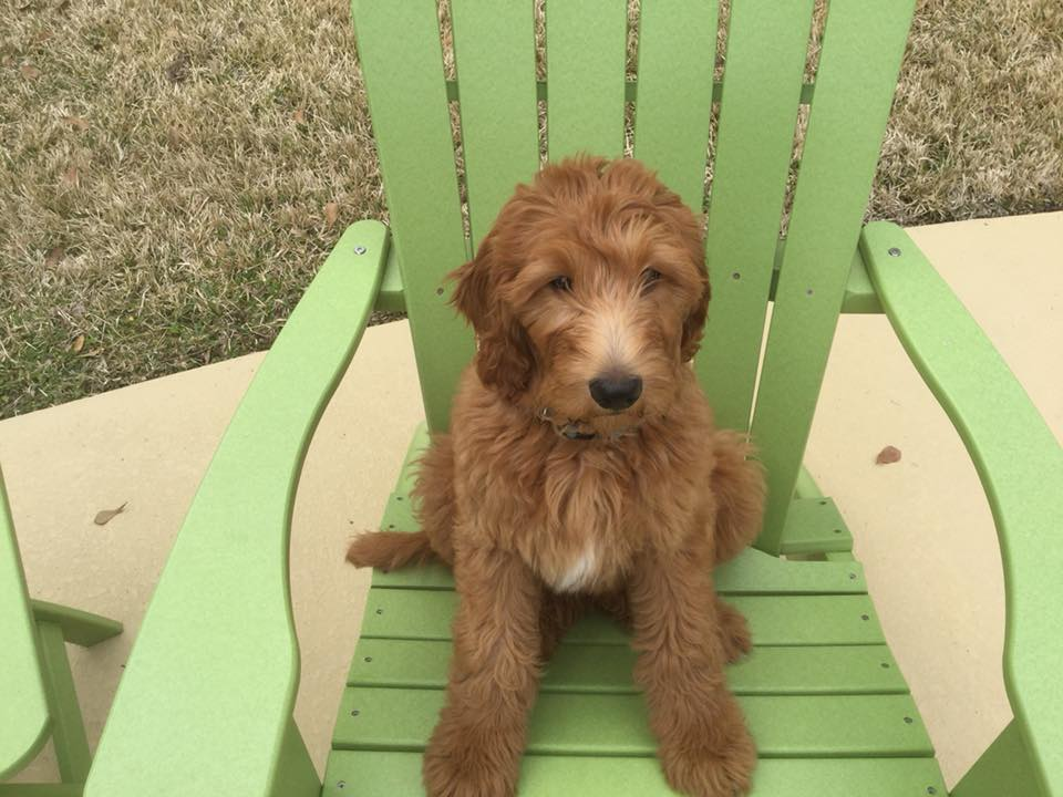 1-Beth McCrary (Red Labradoodle)