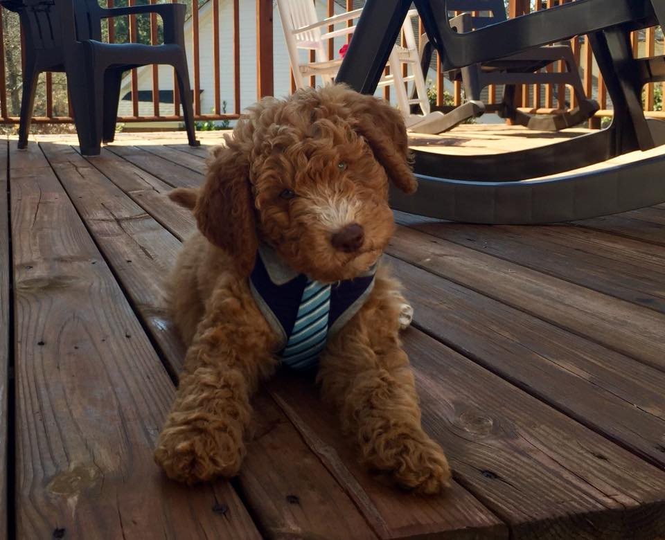 10-Annie Young (mini Goldendoodle)