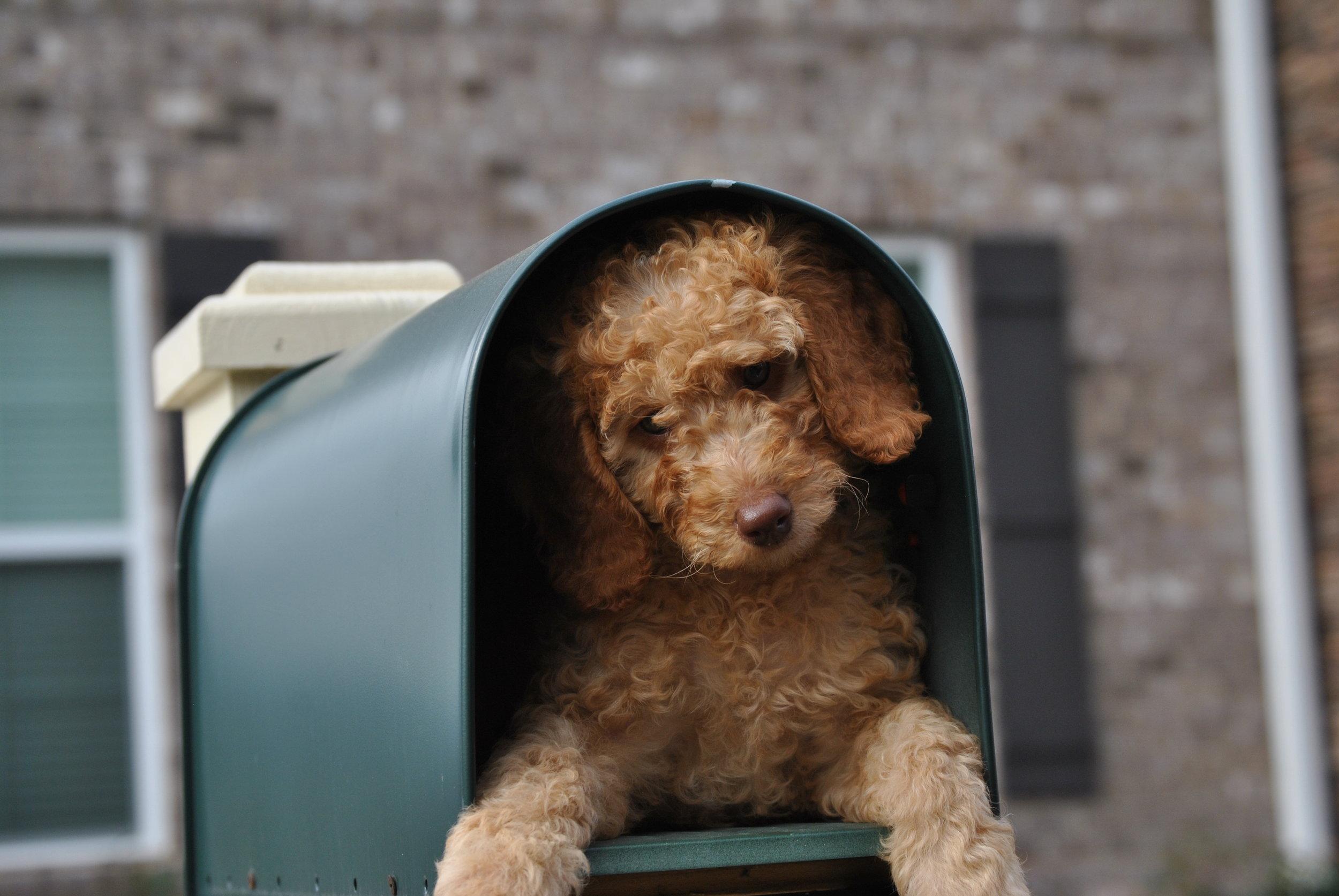 mini-goldendoodle-mailbox-contest.jpeg
