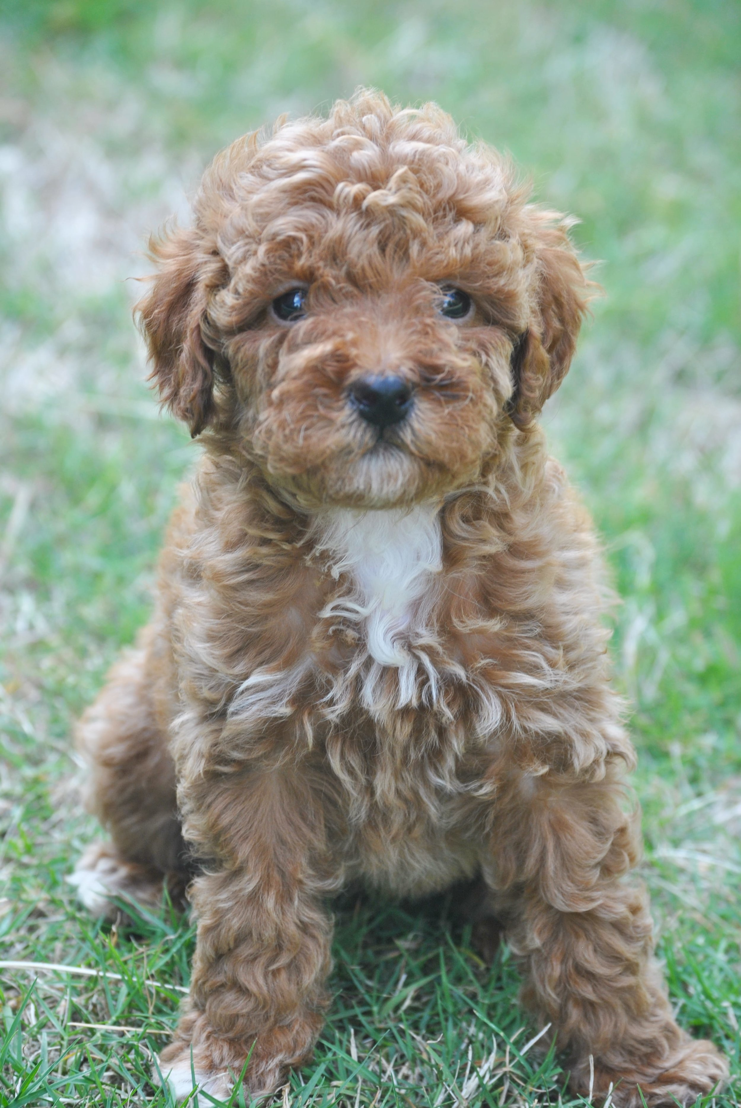 Name This Beautiful Goldendoodle Puppy