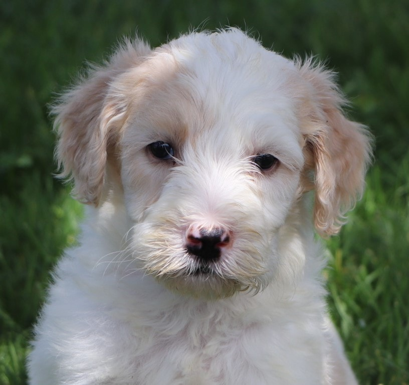 Lana Adorable Sheepadoodle Puppy (1).jpg