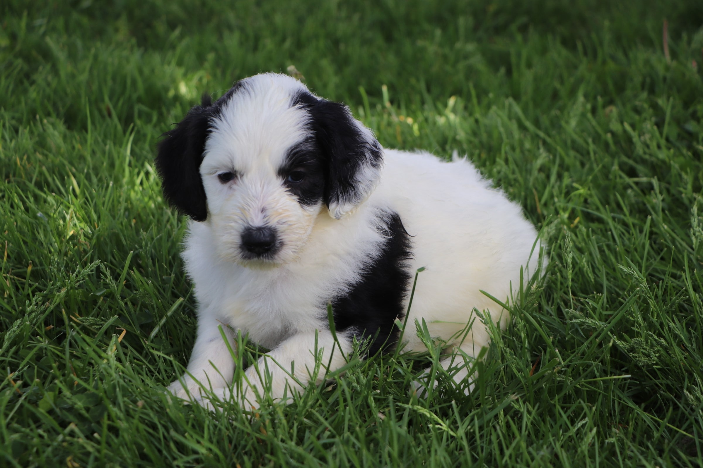 Leia Adorbale Sheepadoodle Puppy (2).jpg