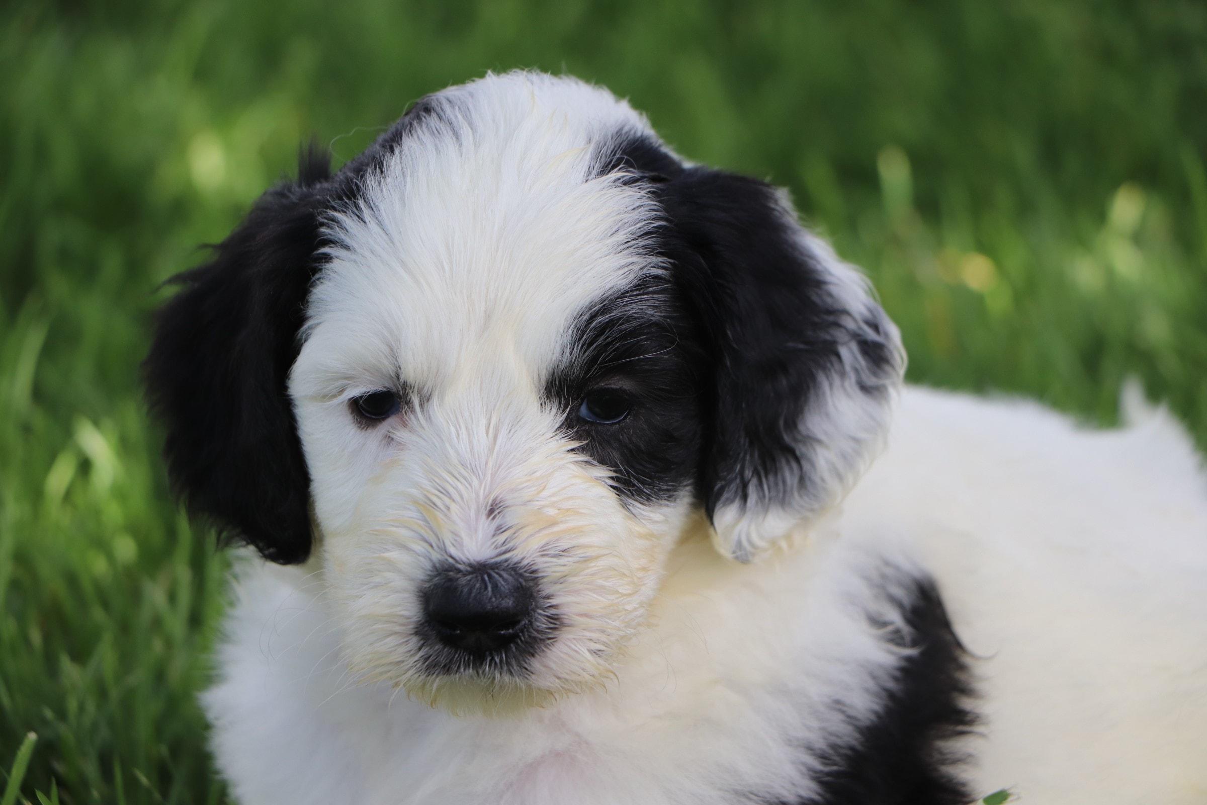 Leia Adorbale Sheepadoodle Puppy (3).jpg