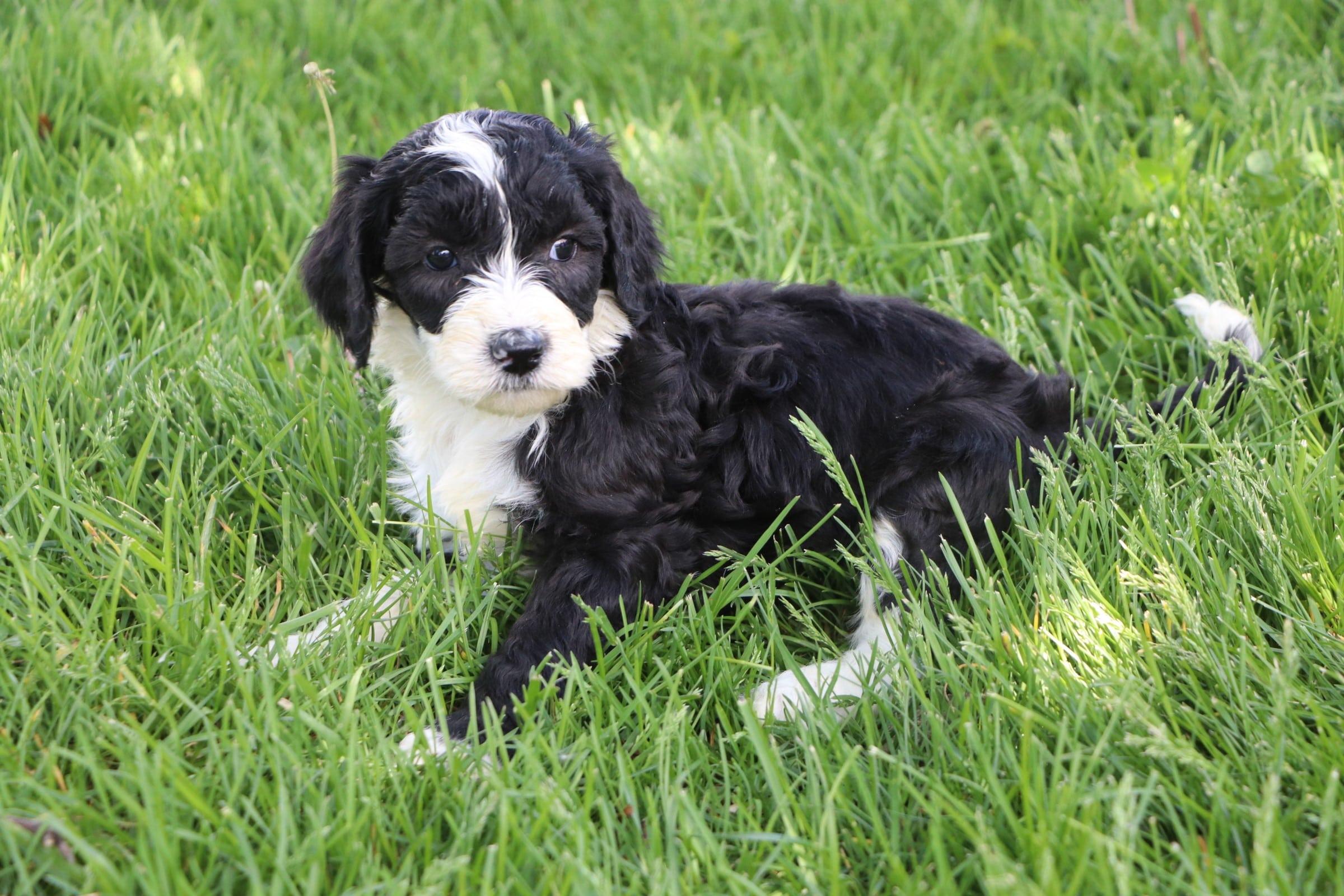 Lola Adorable Sheepadoodle Puppy (7).jpg