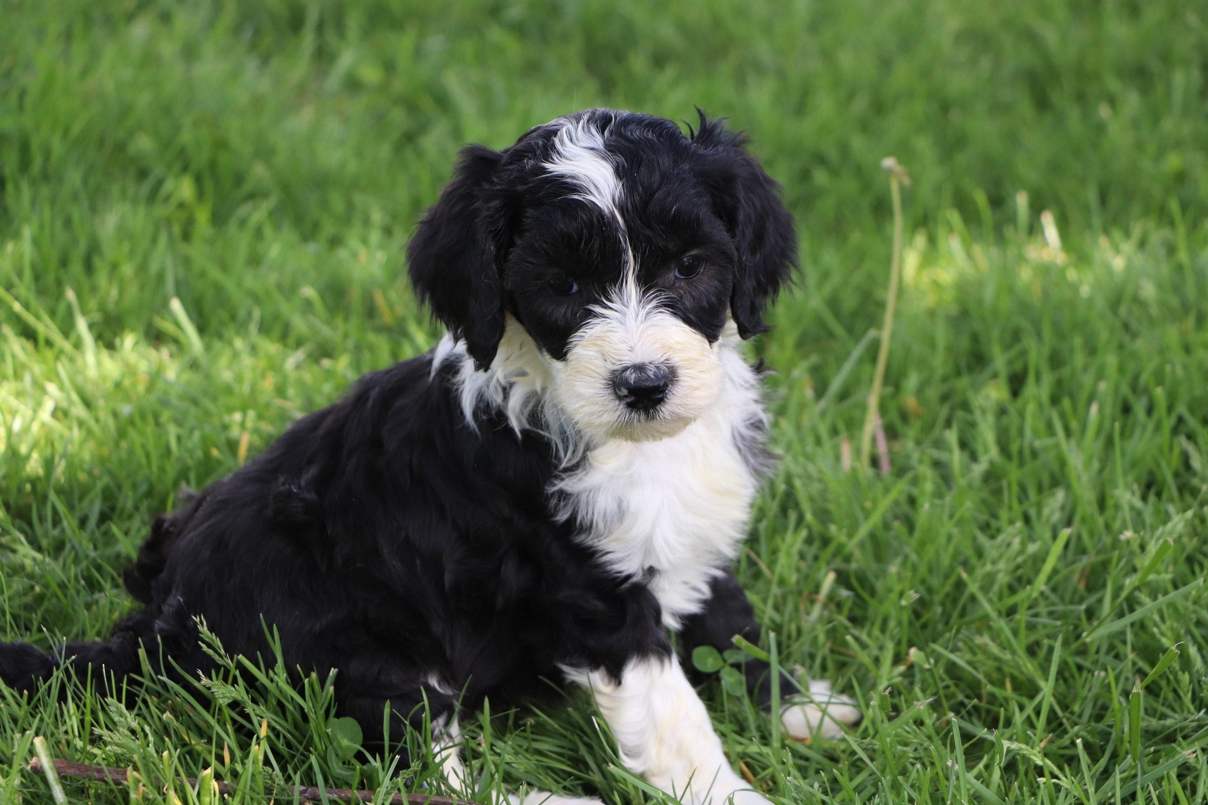 Lola Adorable Sheepadoodle Puppy (9).jpg