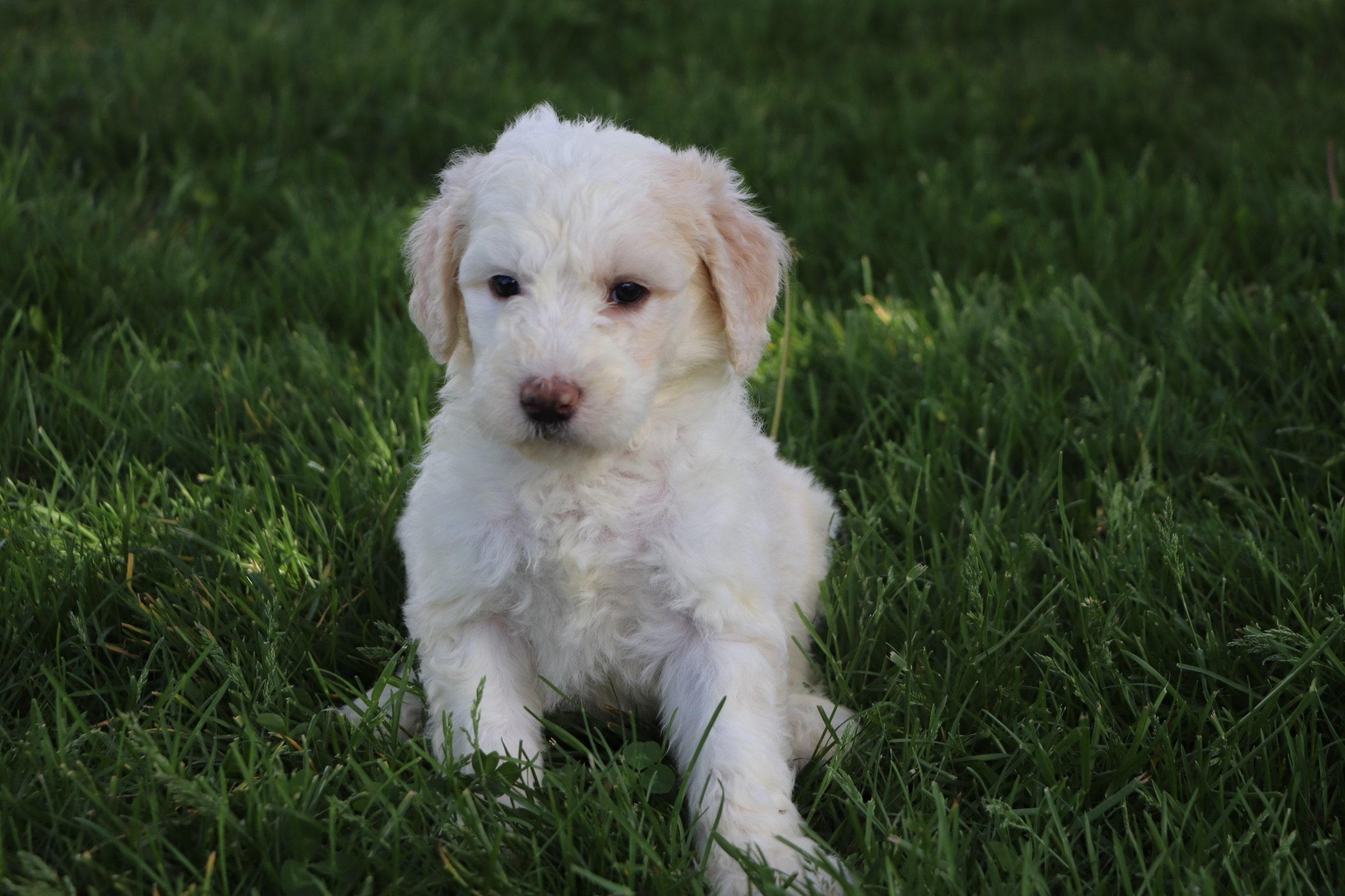 Lily Adorable Sheepadoodle Puppy (7).jpg