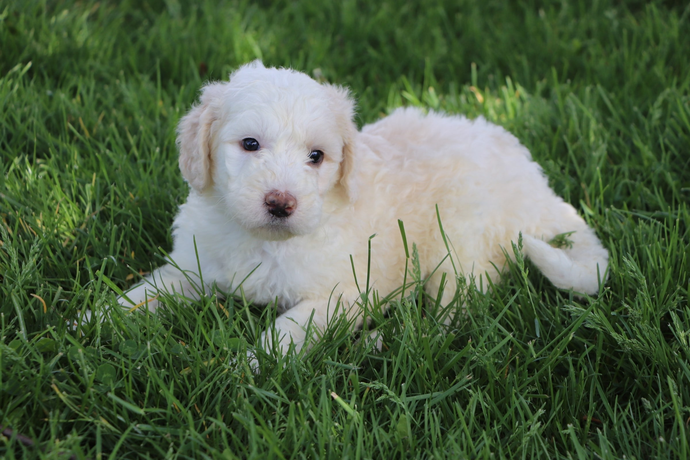 Lily Adorable Sheepadoodle Puppy (8).jpg