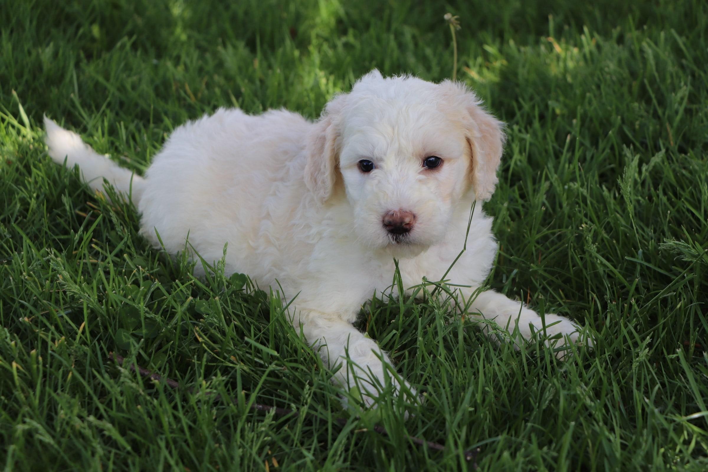 Lily Adorable Sheepadoodle Puppy (9).jpg